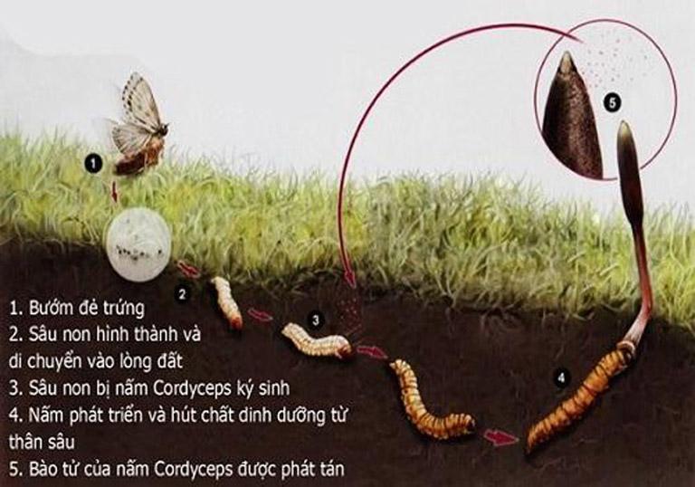 Đông trùng hạ thảo là sự kết hợp hài hoà giữa ấu trùng và nấm
