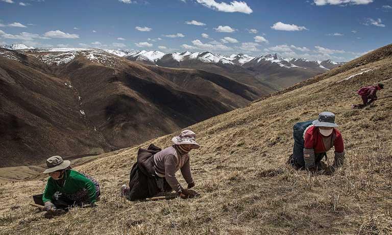 Đông trùng hạ thảo Tây Tạng có giá đắt nhất