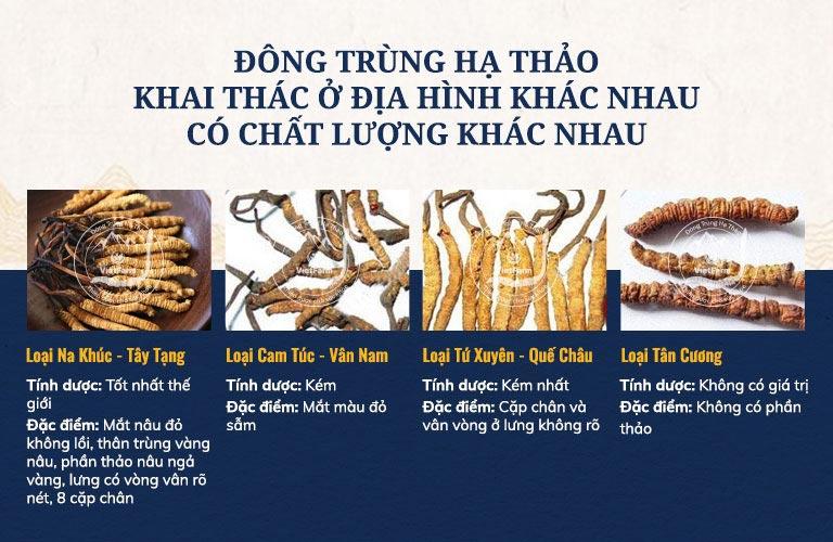 Đông trùng hạ thảo tự nhiên khai thác ở Na Khúc Tây Tạng có chất lượng tốt nhất thế giới