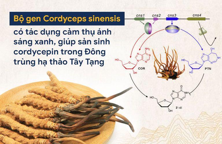 Phát hiện quan trọng về bộ gen đông trùng hạ thảo Tây Tạng