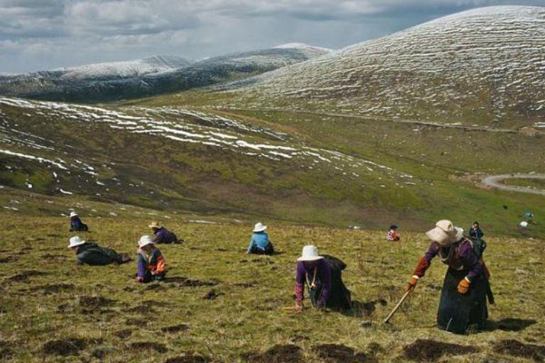Hành trình khắc nghiệt của những người đi săn đông trùng hạ thảo