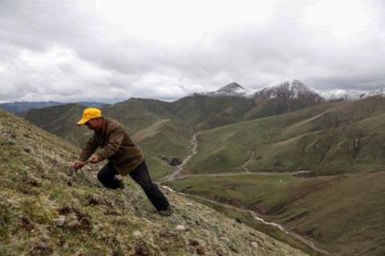 Sản lượng đông trùng hạ thảo Tây Tạng ngày càng sụt giảm khiến thu nhập của những người nông dân thấp đi nhiều
