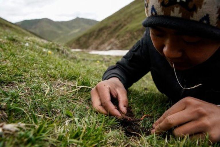 Để tìm thấy đông trùng hạ thảo người nông dân phải nằm sát vào mặt đất, tỉ mỉ bới từng nhánh cỏ