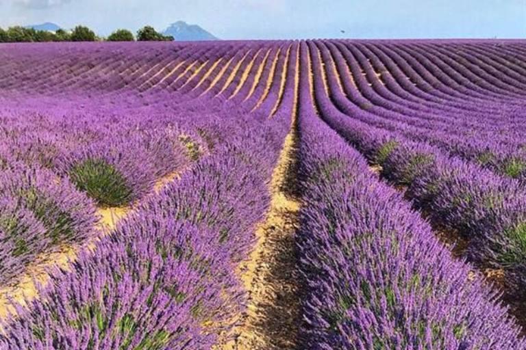 Vườn hoa lavender được Trung tâm Dược liệu Vietfarm trồng tại Đà Lạt theo các tiêu chuẩn hữu cơ